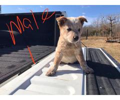 6 Heelers puppies for sale