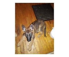 AKC Light Sable German Shepherd Puppy for Sale
