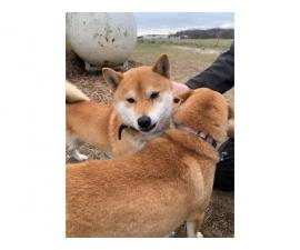 4 Shiba inu puppies available