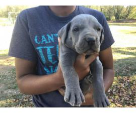 AKC harlequin and blue Great Dane puppies