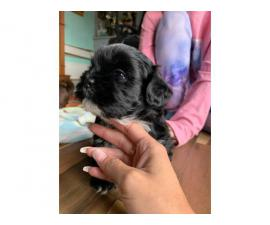 2 male Shih Apso Puppies