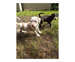 2 Louisiana Catahoula puppies