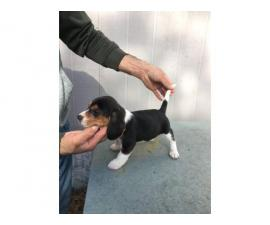3 male and 2 female fullblooded Beagle puppies for sale