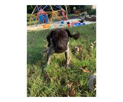 10 weeks old registered GSP puppy for sale