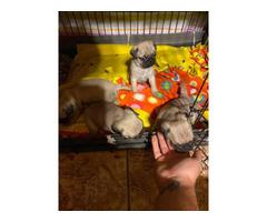4 Pug puppies needing new homes