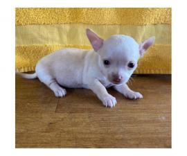 Applehead Chihuahuas for Sale