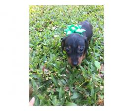 3 adorable Dachshund puppies for sale