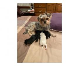 4 Shorkie puppies for sale