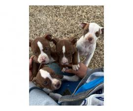 Purebred red nose pit bull puppies available