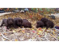 8 purebred  Akc chocolate Labrador for sale