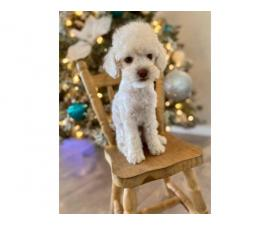 2 months old Mini Poodle puppies for sale