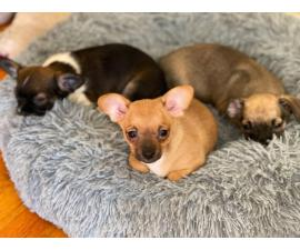 4 baby Chihuahuas looking for the best homes