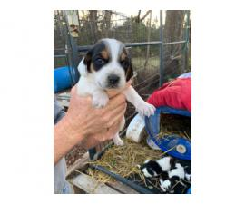 4 AKC registered beagle puppies for sale