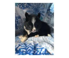 8 weeks old Purebred Pomeranian for sale