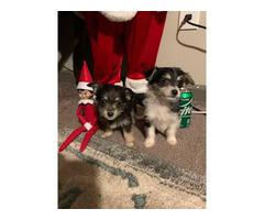 Black & tan and parti Malchi puppies