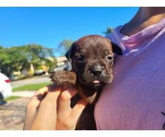 3 AKC Bullmastiff puppies for Sale