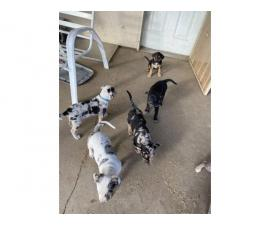 7 Catahoula leopard puppies available