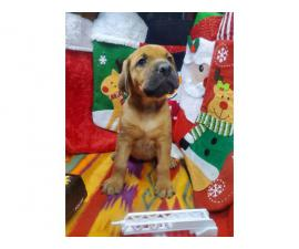 Daniff puppies for adoption