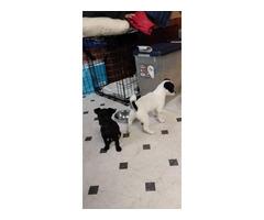 2 Chihuahuas needing new home