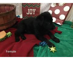 9 AKC German Shepherd puppies for sale