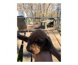 2 male and 2 female redbone coonhound puppies