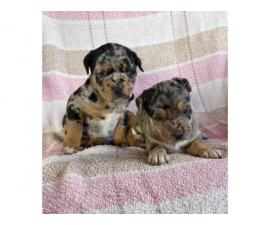 2 Gorgeous Catahoula leopard puppies
