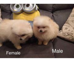 Male and female Pomeranian