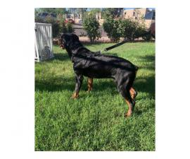 7 female 2 male Rottweiler puppies