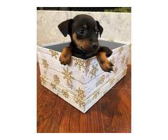 2 Miniature Pinscher Puppies
