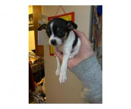 2 male Chihuahua puppies to good home