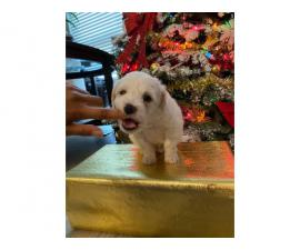 Maltipoo Puppies Male only