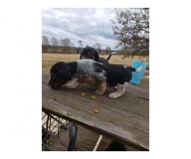 3 males, 2 females Beagle puppies for rehoming