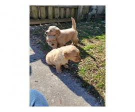 AKC Golden Retriever 2 males and 2 females