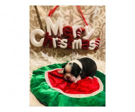 4 full blooded Boston Terriers for sale