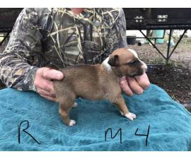 4 male Feist Puppies available
