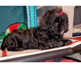 5 adorable Shihtzu puppies for sale