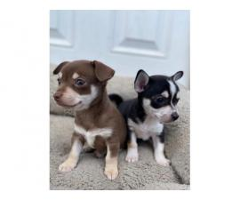 3 Playful Chihuahuas