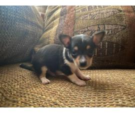2 male 2 female Chihuahua puppies for adoption