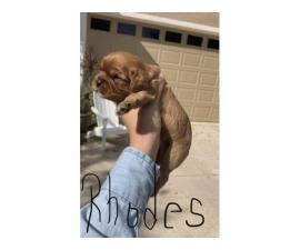 5 AKC registered Cavalier King Charles Spaniel puppies
