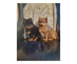 Pomeranian puppies 1 black and 1 brown