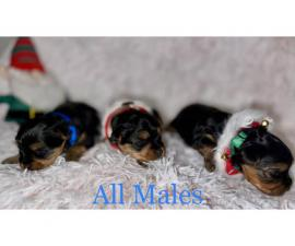 Litter of Yorkie puppies available