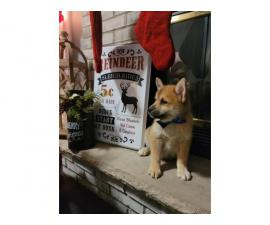 9 weeks old Pomsky puppies for sale