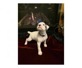 One male white boxer puppy left