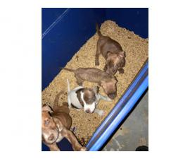 4 beautiful pit bull puppies for sale