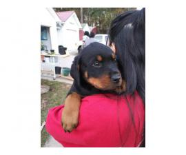 8 Purebred Rottweiler Puppies needing new homes