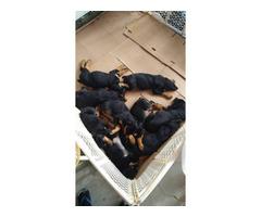 8 Purebred Rottweiler Puppies needing new homes