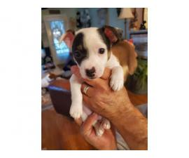 2 Jack Russell Terrier Pups for Christmas