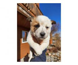 Two Red Heeler Puppies Available