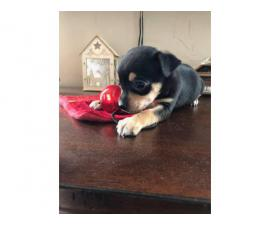 Male Chorkie puppy for adoption