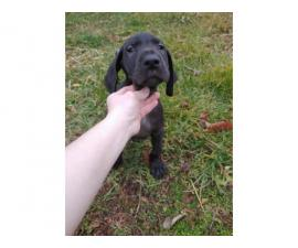 3 AKC Great dane puppies for Sale